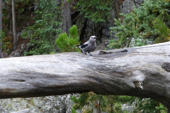 gray jay on log