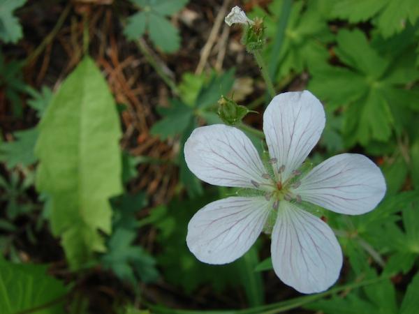 wild white geranium wildflower