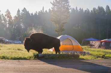 A bison grazing amidst campers at the Bay Bridge Campground in Yellowstone National Park, Wyoming, USA.