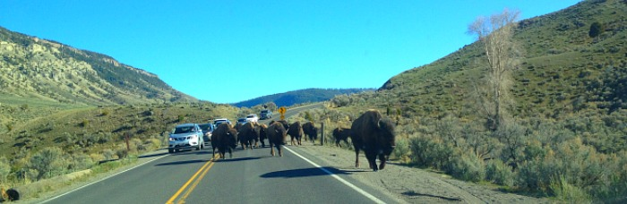 Bison on roadway yellowstone