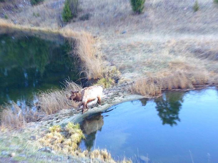 cow elk in pond mud