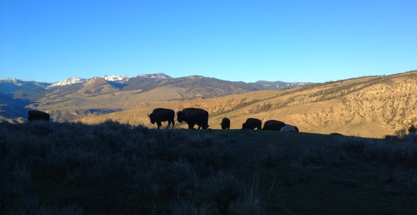 bison backlit in mountains